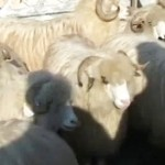 Expoziția de ovine și caprine ed. a V -a 2011 Șomcuta Mare
