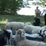 Măsurișul oilor
