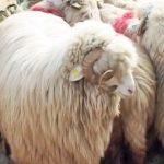 Expoziția de ovine si caprine 2017